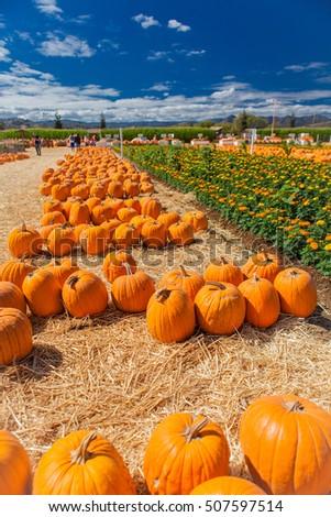 pumpkin patch in a field of...