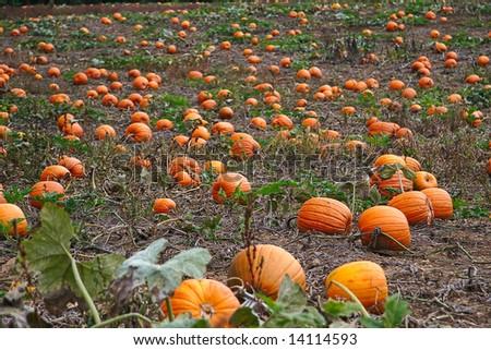 pumpkin patch in autumn - stock photo