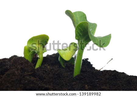 pumpkin plant growing from seed, isolated on white background