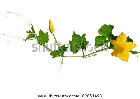 pumpkin's stem from flowers and leaves on white background