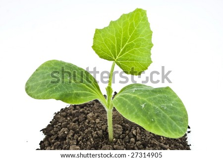 Pumpkin seedling in soil