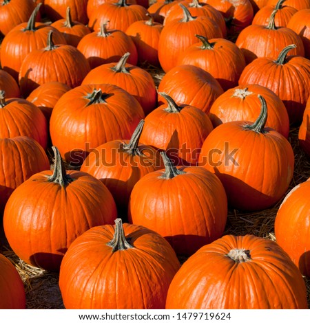Pumpkin, squash, marrow, courgette and other vegetables on the farm market in autumn- Cucurbita Five species  - argyrosperma, maxim, moschata and pepo are grown worldwide for their edible fruit. #1479719624