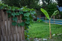 Pumpkin trees are scattered around the house. Image of the natural beauty of the villages of Bangladesh.