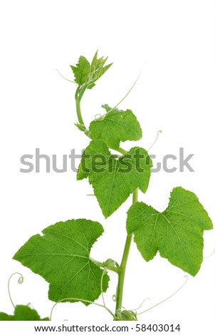 Pumpkin vine isolated on white background