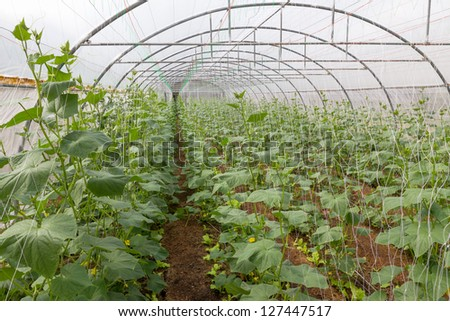 Pumpkin vines grow plants growing in a greenhouse