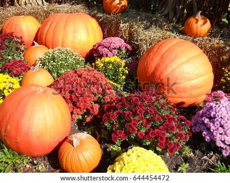 Pumpkins and Mums Autumn #644454472