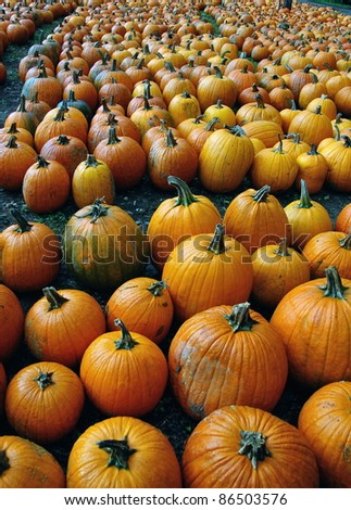 Pumpkins are arranged on the ground on the farm - stock photo