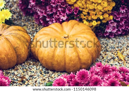 Pumpkins. Autumn decoration of the garden, autumn decor. Pumpkins and autumn flowers. Halloween, Thanksgiving, decoration of the house and garden for the holiday. #1150146098