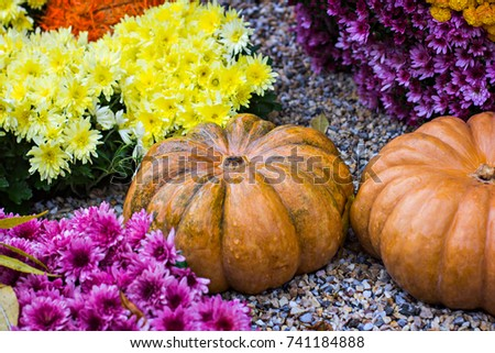 Pumpkins. Autumn decoration of the garden, autumn decor. Pumpkins and autumn flowers. Halloween, Thanksgiving, decoration of the house and garden for the holiday. #741184888
