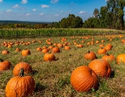 pumpkins in a pumpkin patch