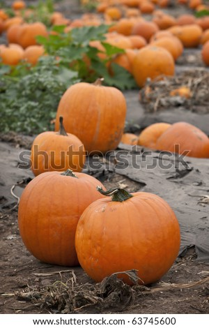 Pumpkins in a pumpkin patch - stock photo