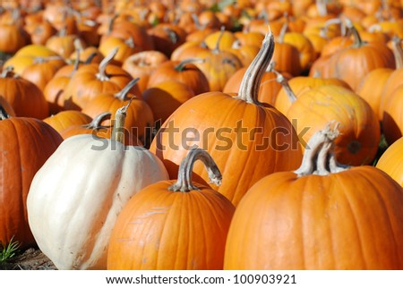 Pumpkins in Patch Waiting to Be Chosen and Taken Home to be Carved, Baked as a Pie, or Pureed into Soup with copy space in the bokeh.