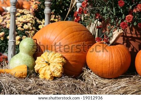 Pumpkins in the Field #19012936