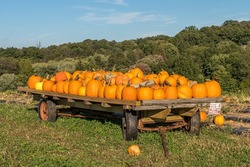 Pumpkins on a farm during the fall harvest on a sunny fall day in Wexford, Pennsylvania, USA