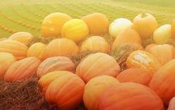 pumpkins on the farm with light on sunset,sunrise time