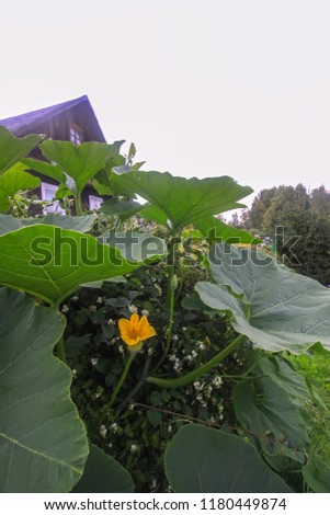 Pumpkins with large leaves growing in a garden with old rural house on background. #1180449874