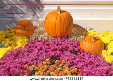 Pumpkins with mum flowers #748355119