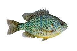 Pumpkinseed fish. Fresh alive freshwater sunfish isolated on white background