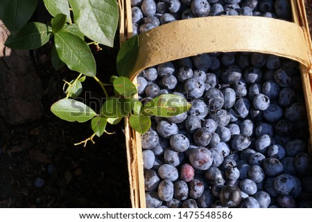 Punnet (or basket ) made of plaited split pine strips, filled with freshly picked blueberries.
