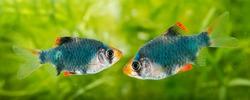 Puntius tetrazona -  an aquarium fish