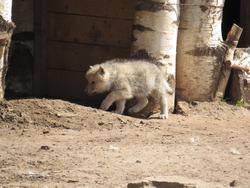 Pup. Arctic wolf pups. Little wolf cubs.