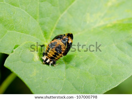 pupa of asian ladybird, metamorphosis