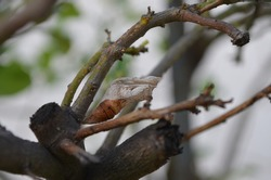 Pupa of Papilio demoleus, a common and widespread swallowtail butterfly turn in a butterfly and fly away. Brown coloured pupa's shell is remaining on the lemon tree's branch.
