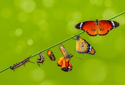 Pupae and cocoons are suspended. Concept transformation of Butterfly