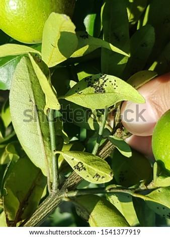 Pupae of citrus blackfly on citrus leaves #1541377919