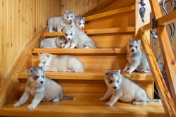 Puppies breed Siberian husky running on a wooden ladder