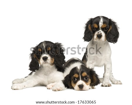 Cavalier King Charles Spaniel Puppies. stock photo : puppies Cavalier