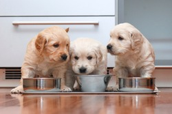 Puppies eating food in the kitchen like little gourmets.
