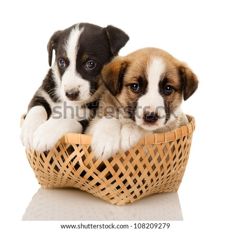 puppies in a basket. isolated on white background