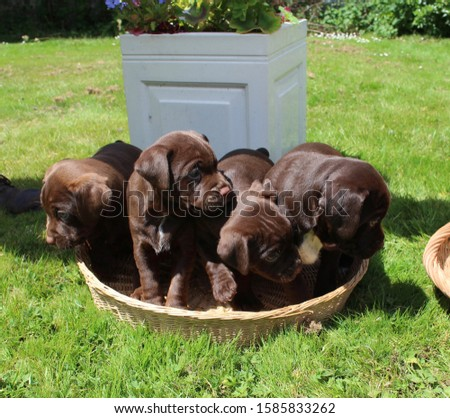 Puppies in a basket, litter of puppies. patterdale puppies. chocolate puppies. dogs