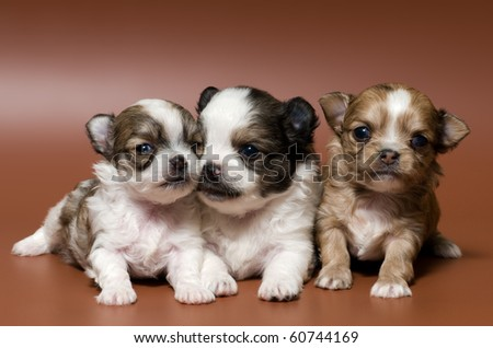 Puppies in studio #60744169