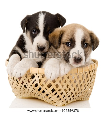 puppies in their basket. isolated over a white background
