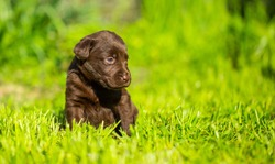 Puppies of a dog breed Labrador closeup. Labrador puppy, beautiful little dogs running on the green grass. Zoo protection, care and preservation of animals.  Friendliness and games with pets.