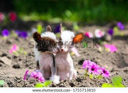 Photo of Puppies of a naked Chinese crested dog on a background of flowers. Cute dogs pose in an outdoor Park. The concept of love and friendship. Free space for text. Copy of the space. Horizontal image.