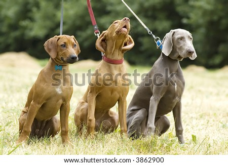 Puppies of hunting breeds (expression)