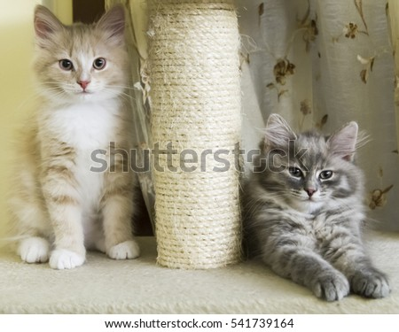 puppies of siberian cat on the scratching post #541739164