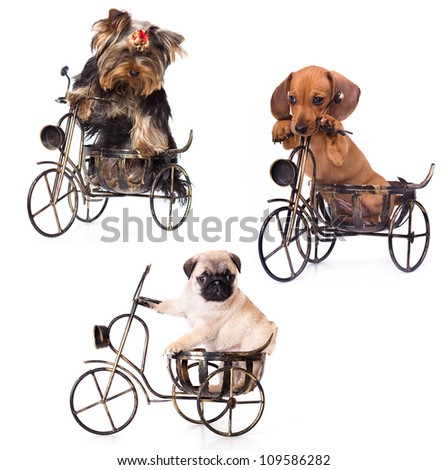 Puppies on a bicycle yrkshirsky Terrier, Dachshund, Pug