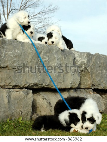 puppies sitting on wall at the end of leash two more puppies