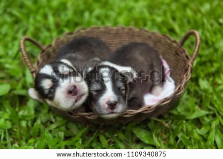 Stock Photo puppies sleeping in a wooden basket in garden