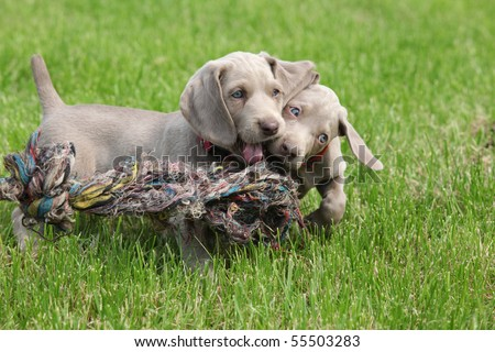 Weimaraner Puppies on Puppies Weimaraner Playing Stock Photo 55503283   Shutterstock