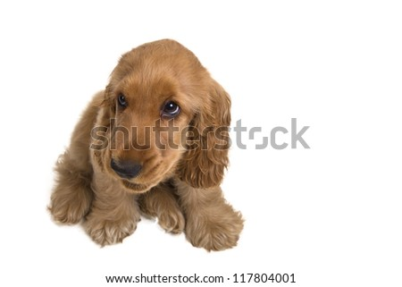 puppy a cocker - a spaniel on a white background