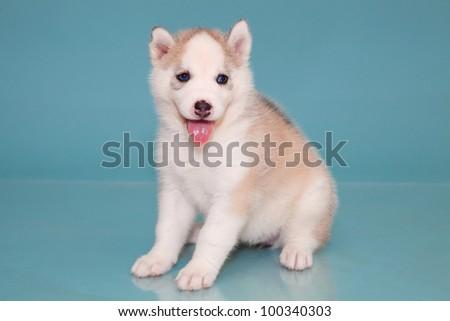 puppy a dog husky on a blue background.