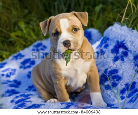 Puppy American Staffordshire Terrier (5 weeks)