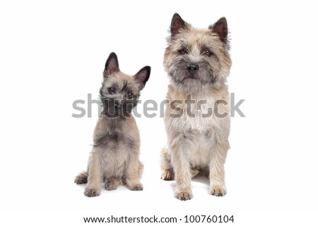 Puppy and adult cairn Terrier in front of a white background