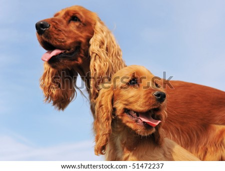 puppy and adult purebred cocker spaniel, focus on the young dog