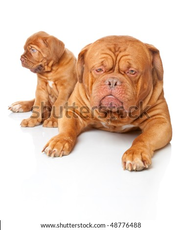 Puppy and dog of Dogue de Bordeaux (French mastiff). Isolated on white background